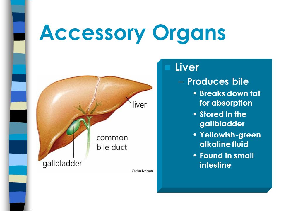 Accessory Organs Liver Produces bile Breaks down fat for absorption