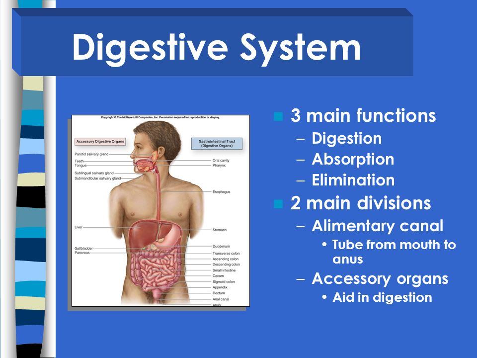 Digestive System 3 main functions 2 main divisions Digestion