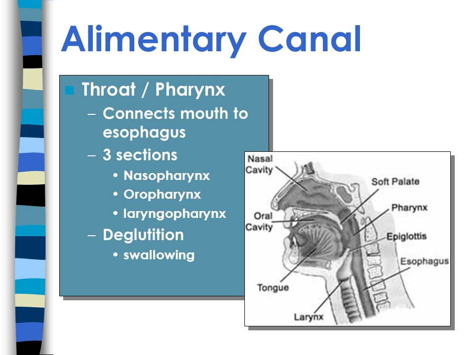 Alimentary Canal Throat / Pharynx Connects mouth to esophagus