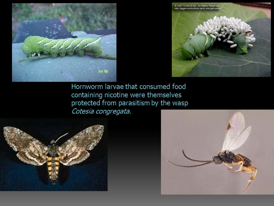 Hornworm larvae that consumed food containing nicotine were themselves protected from parasitism by the wasp Cotesia congregata.
