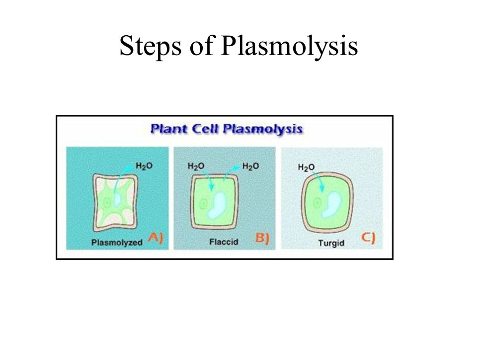 incipient plasmolysis definition Definition of incipient plasmolysis: the state of a plant cell in which the  turgor pressure is zero but the protoplast is in contact with the cell wall all round.