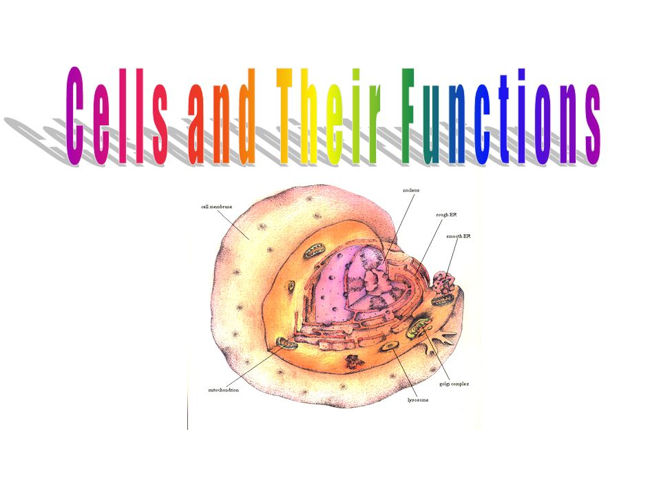 how are the shapes of cells related to their function A number of shapes occurs in cells like globular, oval, thread-like etc it depends upon the function it performs and other factors i've listed below some examples depending on function - 1 rbcs are circular and biconcave it helps it to pass th.
