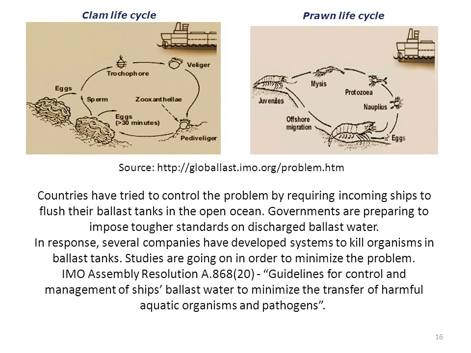 Clam life cycle Prawn life cycle. Source: