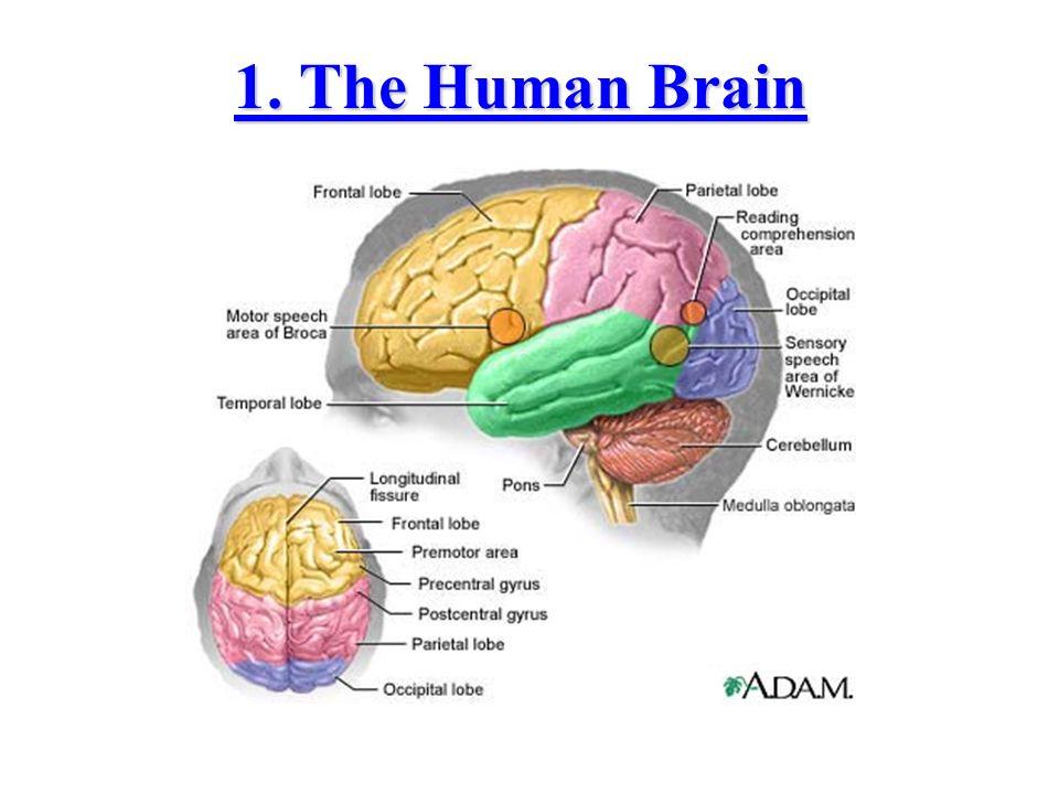 1. The Human Brain