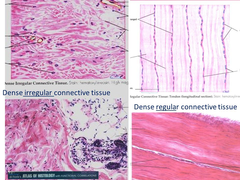 histology muscle and connective tissue Gain expert knowledge on types of tissues this histology course covers all essentials: connective tissue , muscle tissue , nerve tissue , epithelial tissue , bone tissue.