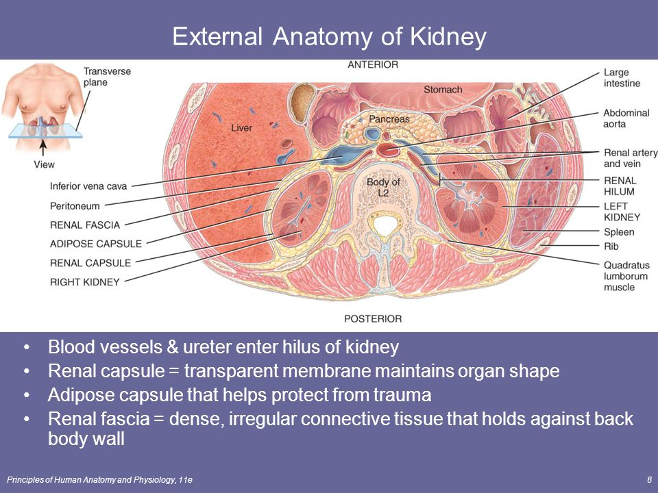 The Urinary System Lecture Outline Ppt Download