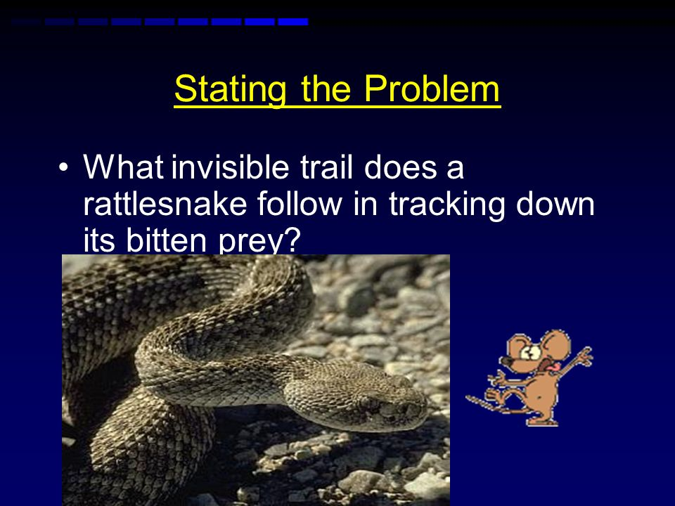 Stating the Problem What invisible trail does a rattlesnake follow in tracking down its bitten prey