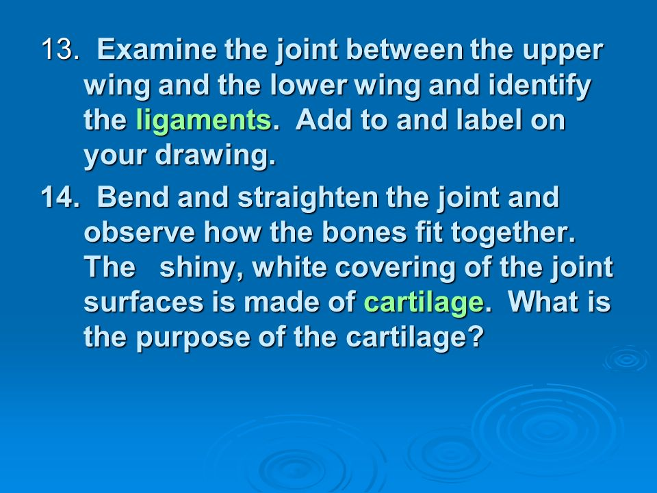 13. Examine the joint between the upper wing and the lower wing and identify the ligaments. Add to and label on your drawing.