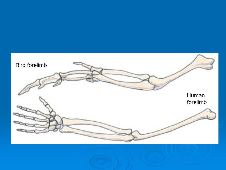 Bird forelimb Human forelimb