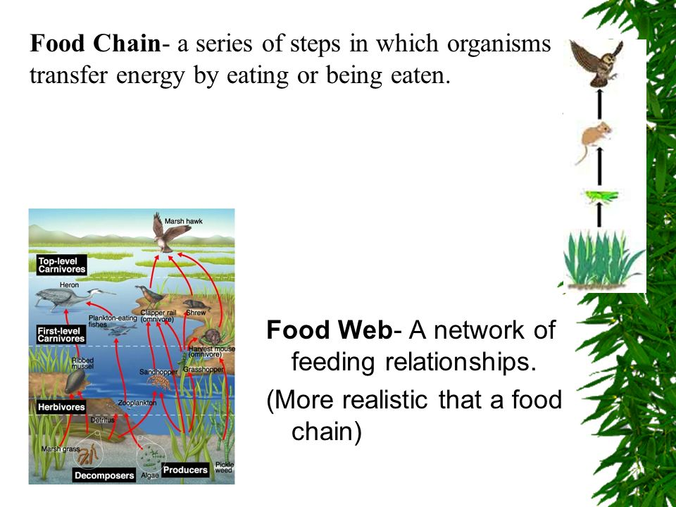 Food Chain- a series of steps in which organisms transfer energy by eating or being eaten.