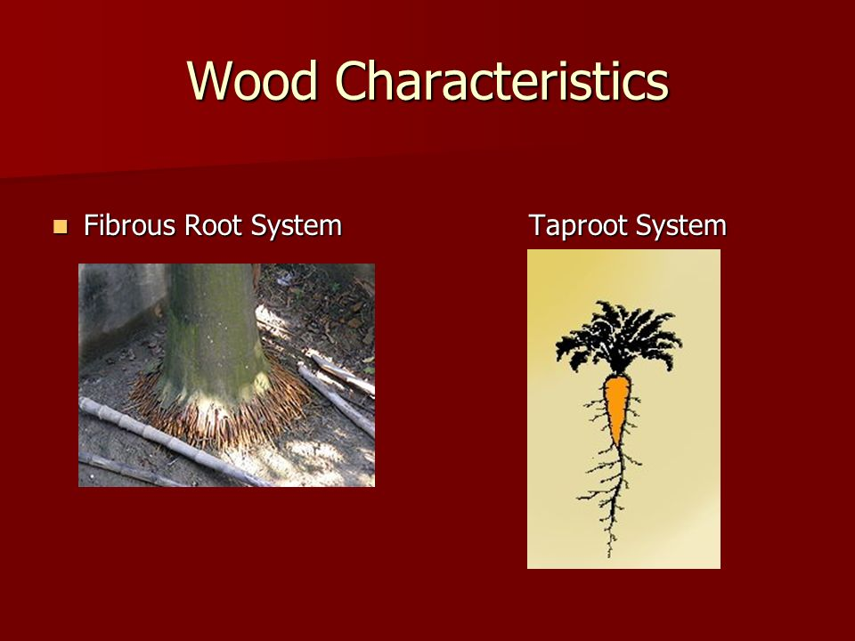 Wood Characteristics Fibrous Root System Taproot System