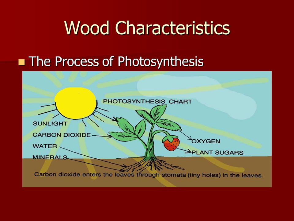 Wood Characteristics The Process of Photosynthesis