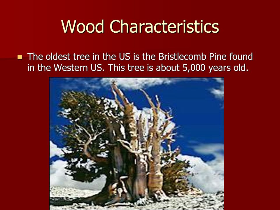 Wood Characteristics The oldest tree in the US is the Bristlecomb Pine found in the Western US.