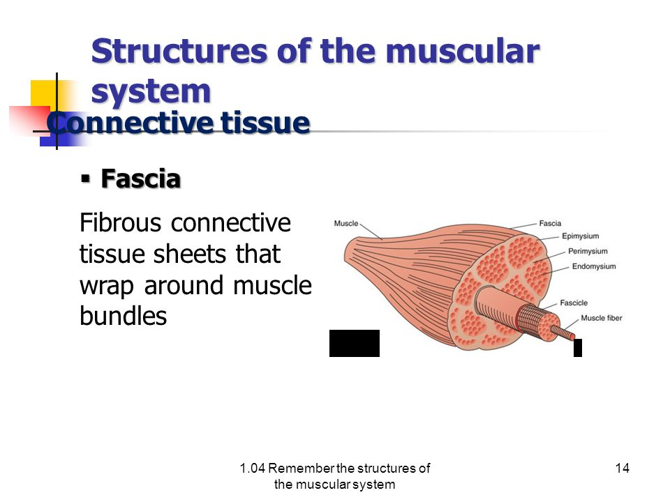 Structures of the muscular system