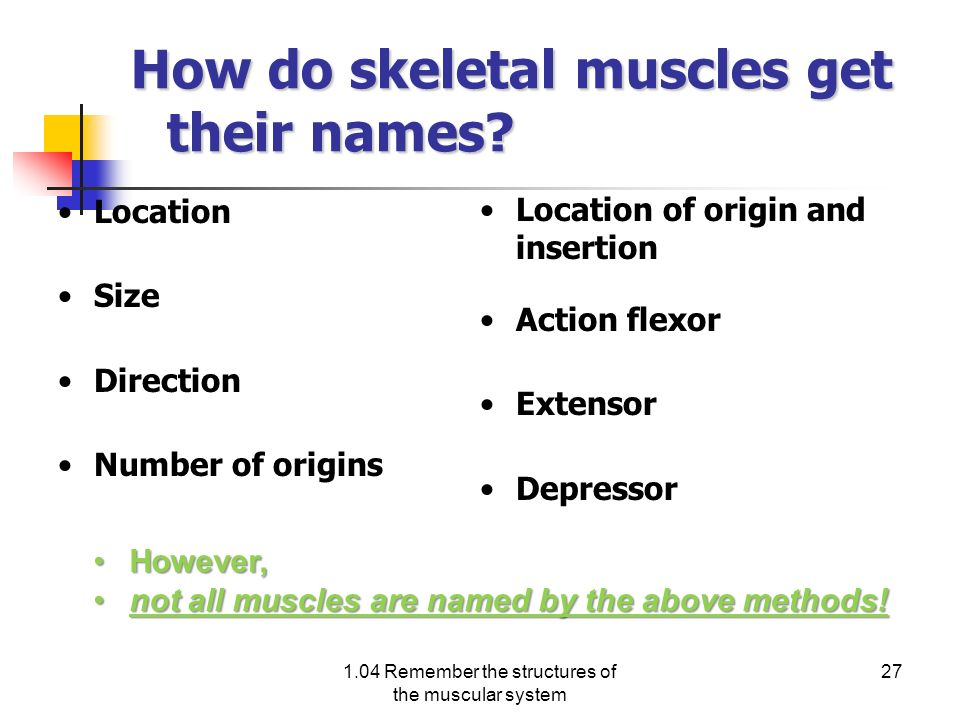 How do skeletal muscles get their names