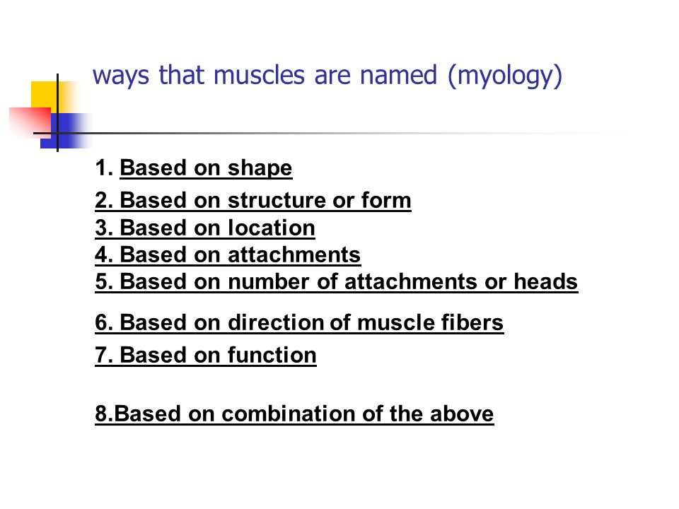 ways that muscles are named (myology)