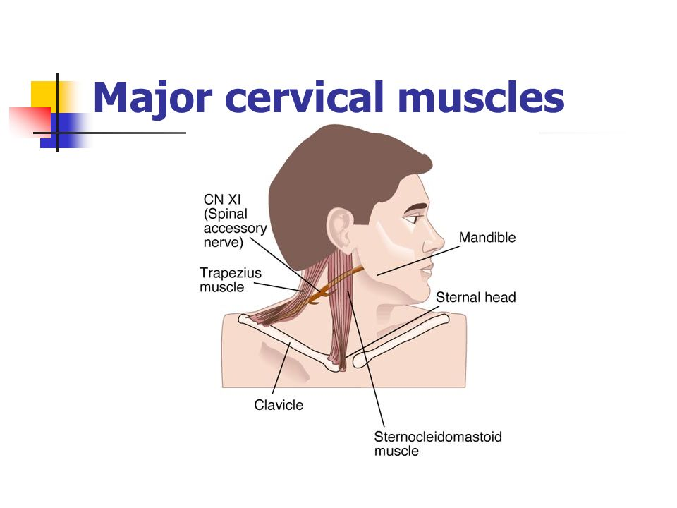 Major cervical muscles
