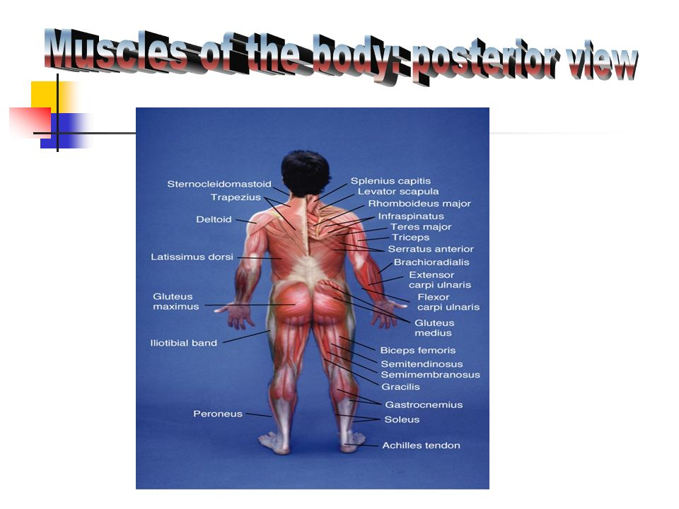 Muscles of the body: posterior view