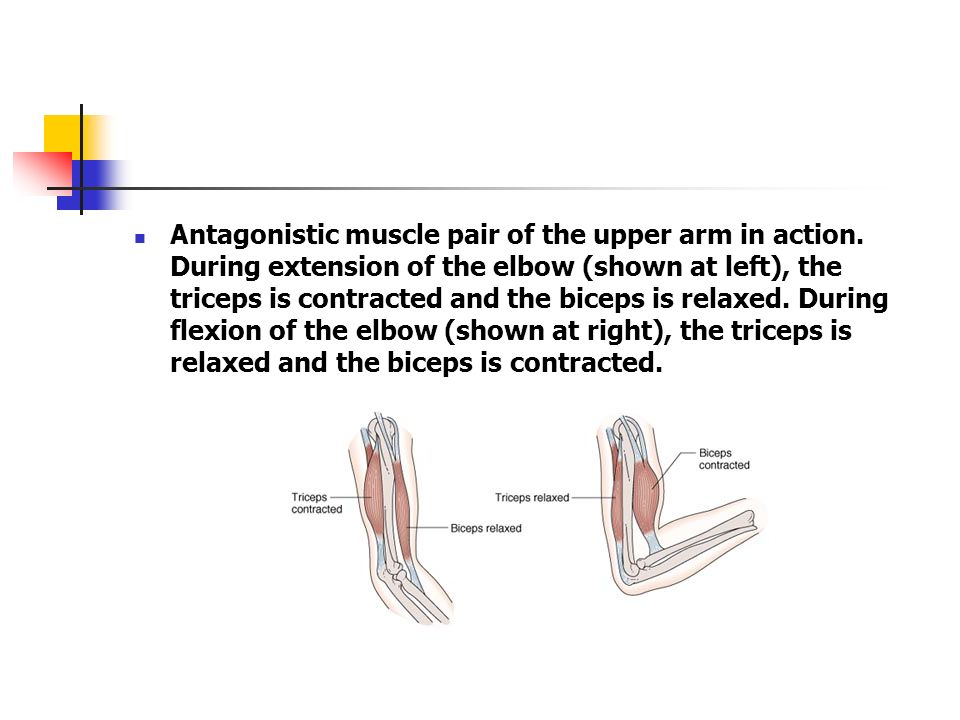 Antagonistic muscle pair of the upper arm in action