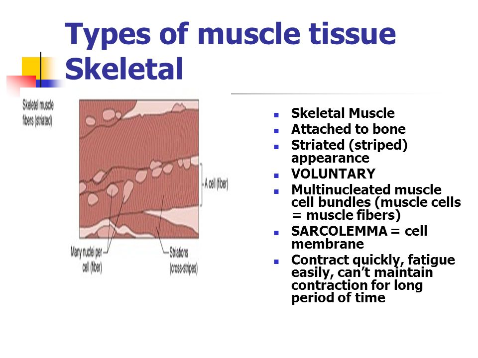 Types of muscle tissue Skeletal