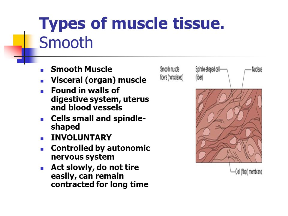 Types of muscle tissue. Smooth