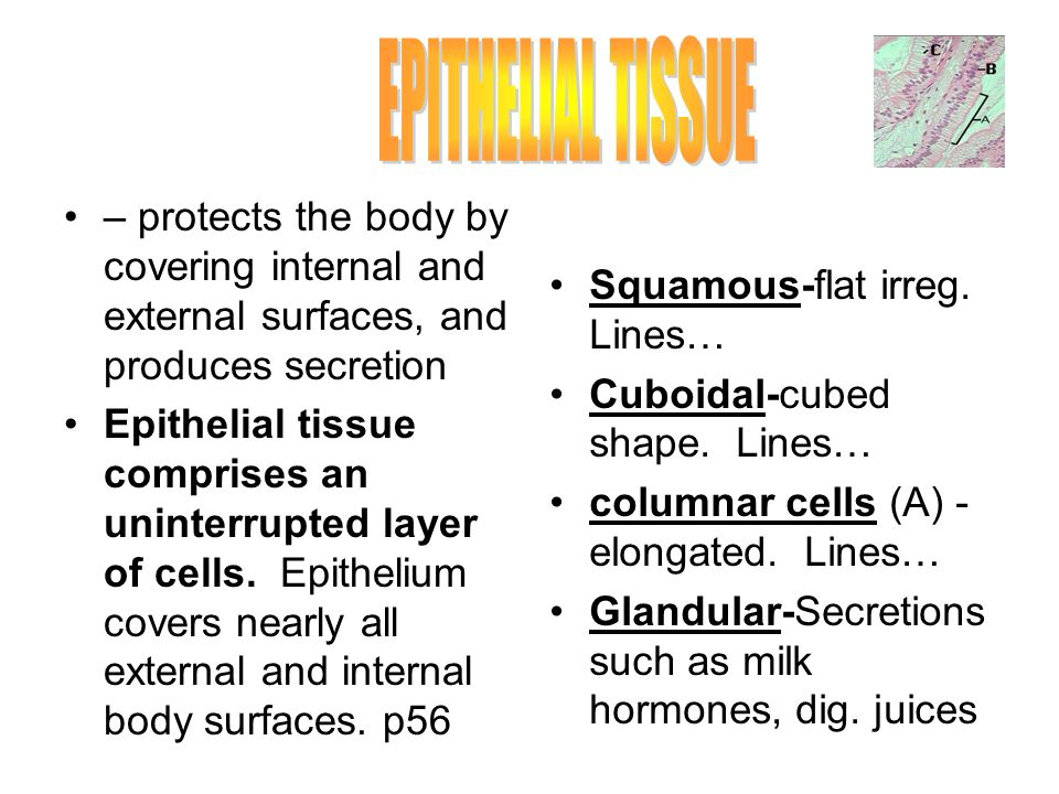 EPITHELIAL TISSUE – protects the body by covering internal and external surfaces, and produces secretion.