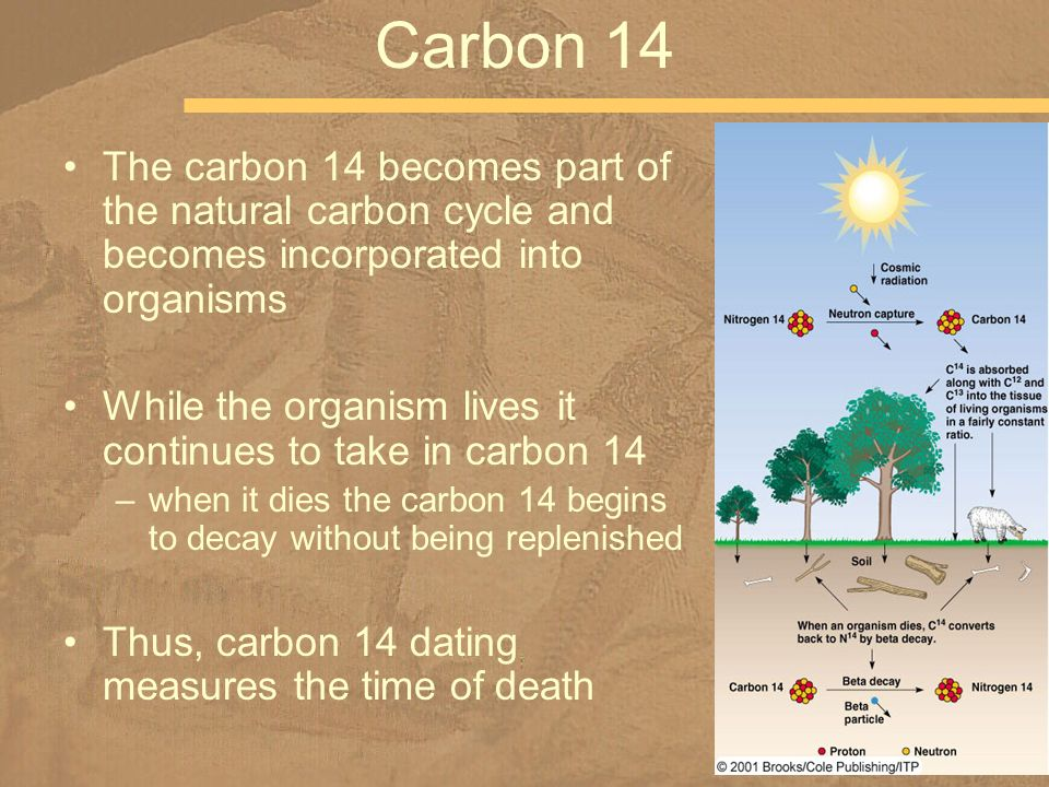 Carbon 14 The carbon 14 becomes part of the natural carbon cycle and becomes incorporated into organisms.