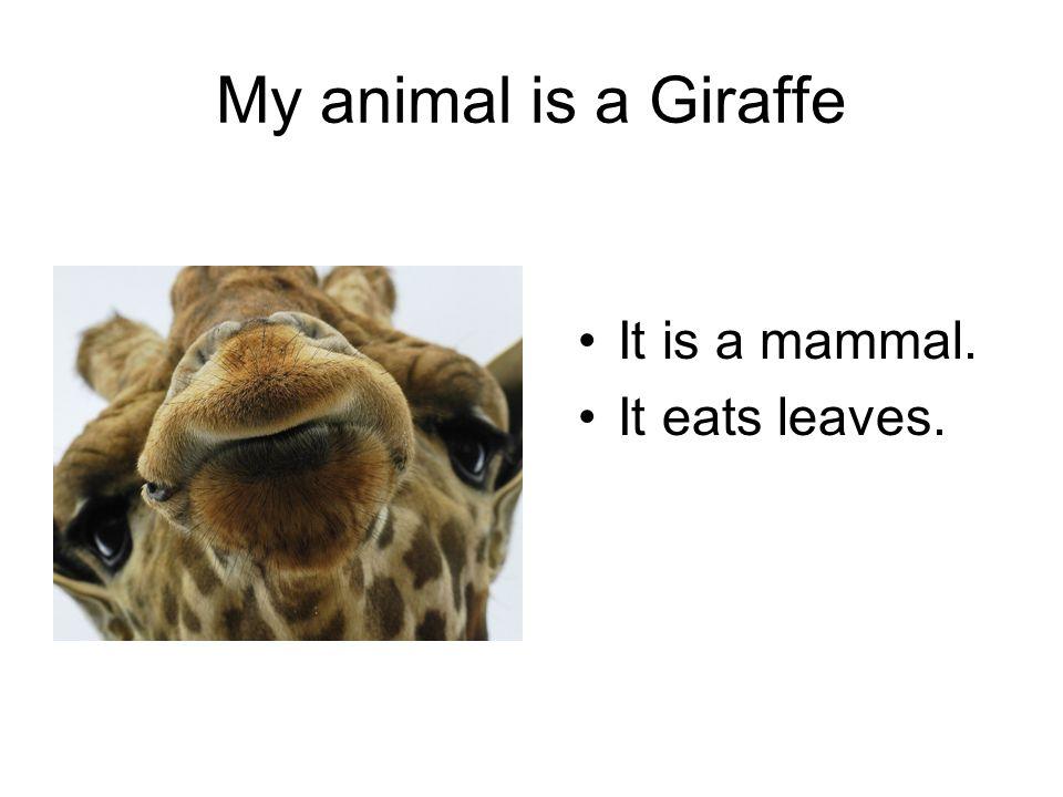 My animal is a Giraffe It is a mammal. It eats leaves.