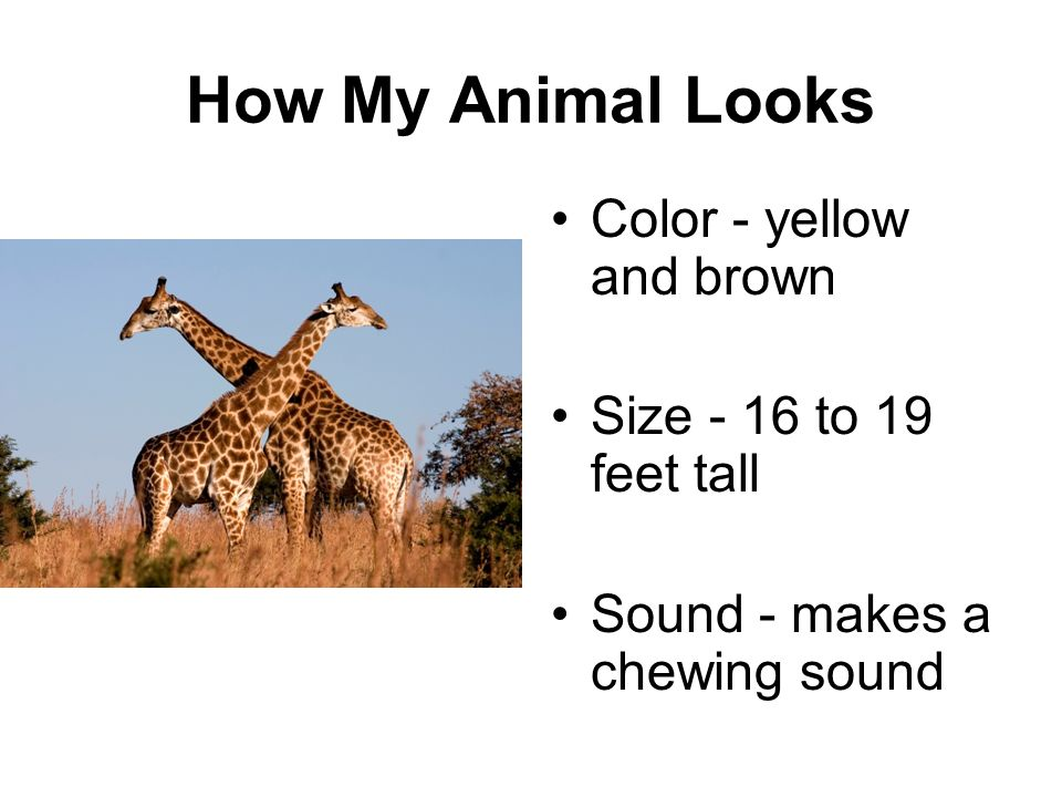 How My Animal Looks Color - yellow and brown Size - 16 to 19 feet tall