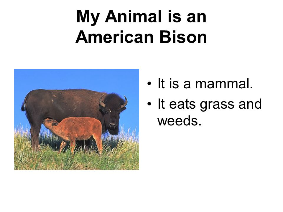 My Animal is an American Bison