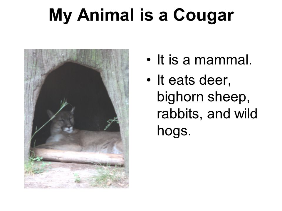 My Animal is a Cougar It is a mammal.