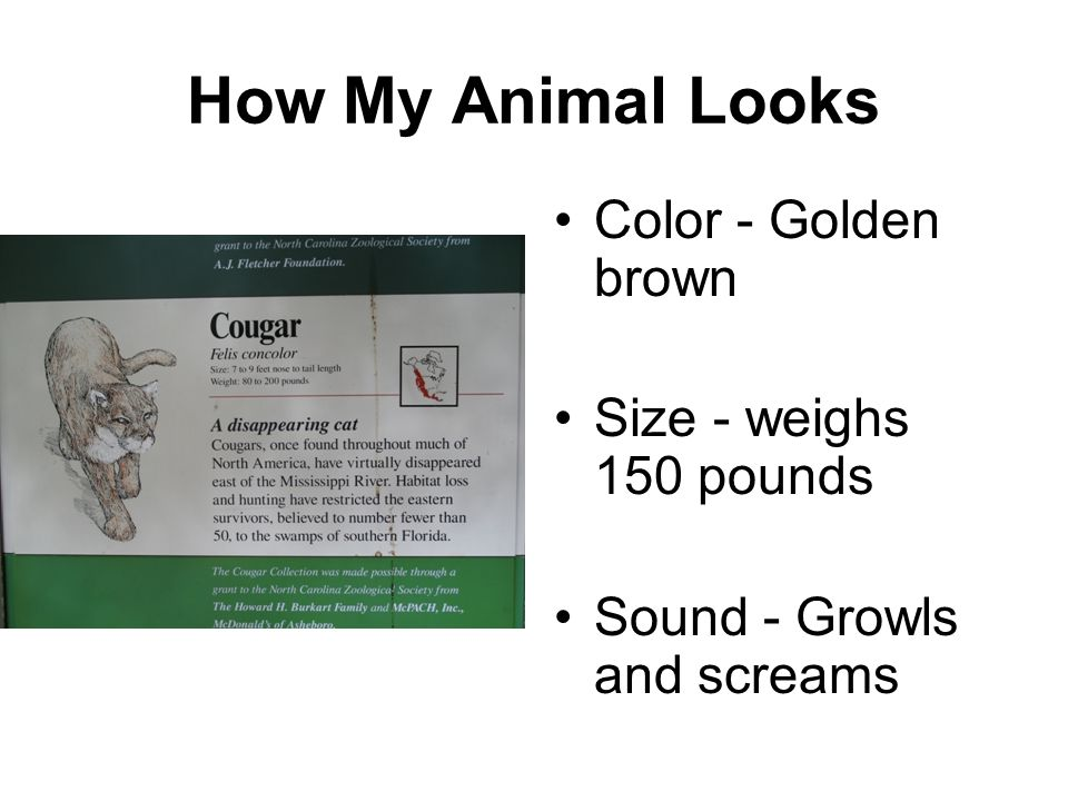 How My Animal Looks Color - Golden brown Size - weighs 150 pounds
