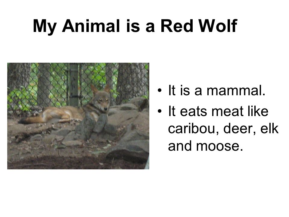 My Animal is a Red Wolf It is a mammal.
