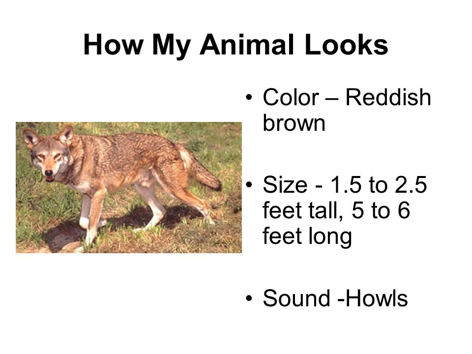 How My Animal Looks Color – Reddish brown