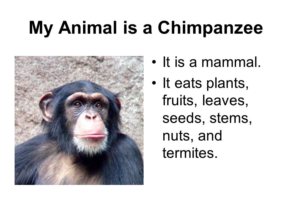 My Animal is a Chimpanzee