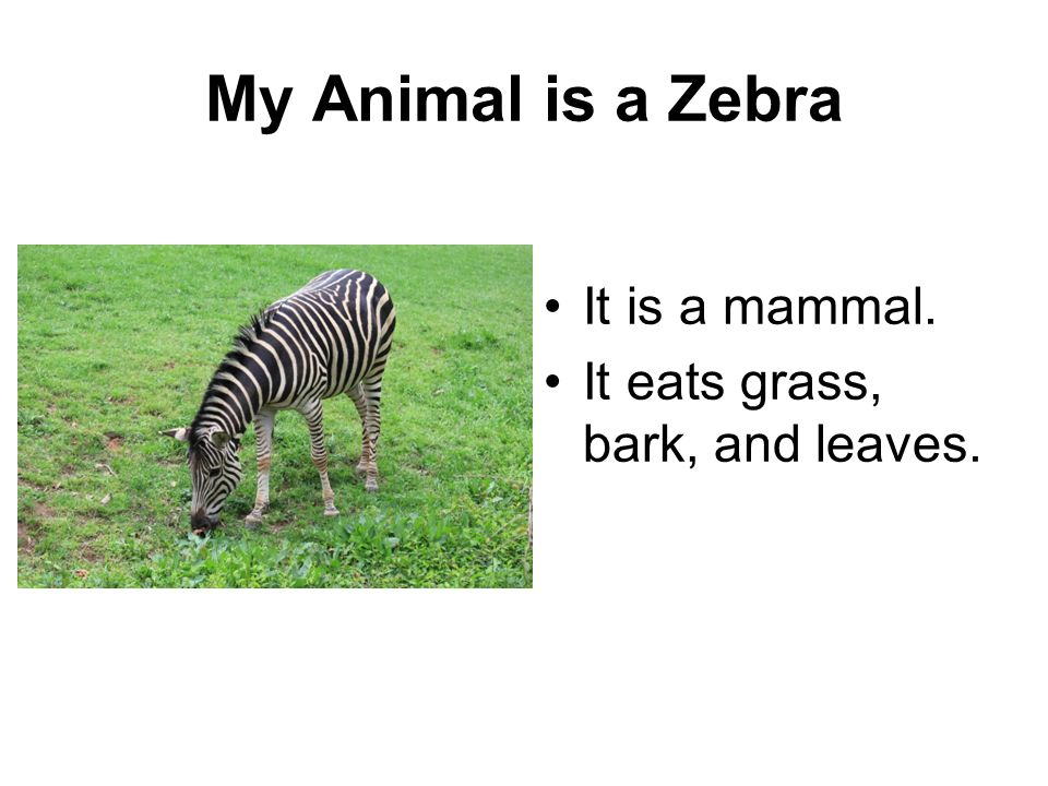 My Animal is a Zebra It is a mammal. It eats grass, bark, and leaves.