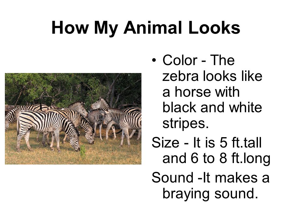 How My Animal Looks Color - The zebra looks like a horse with black and white stripes. Size - It is 5 ft.tall and 6 to 8 ft.long.