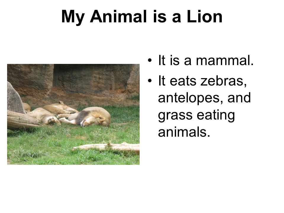 My Animal is a Lion It is a mammal.