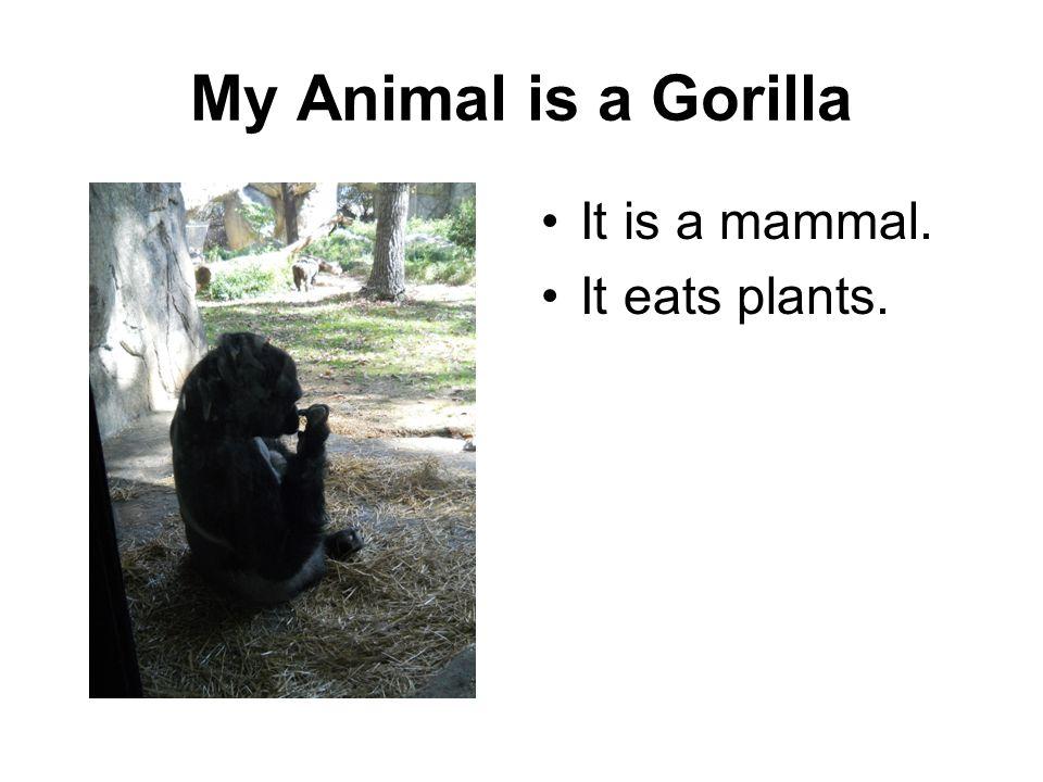 My Animal is a Gorilla It is a mammal. It eats plants.