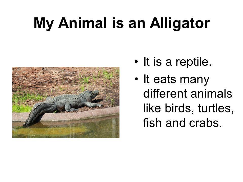 My Animal is an Alligator