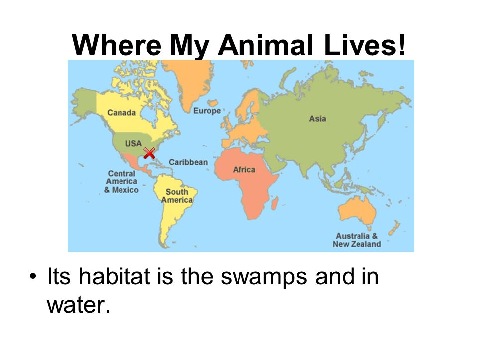 Where My Animal Lives! Its habitat is the swamps and in water. 69