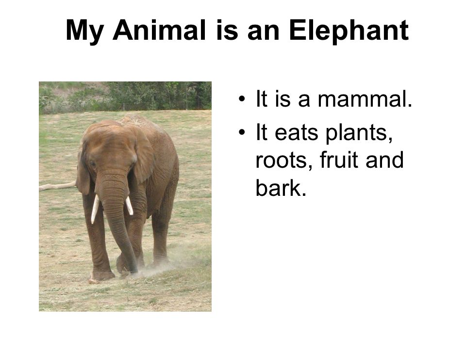 My Animal is an Elephant
