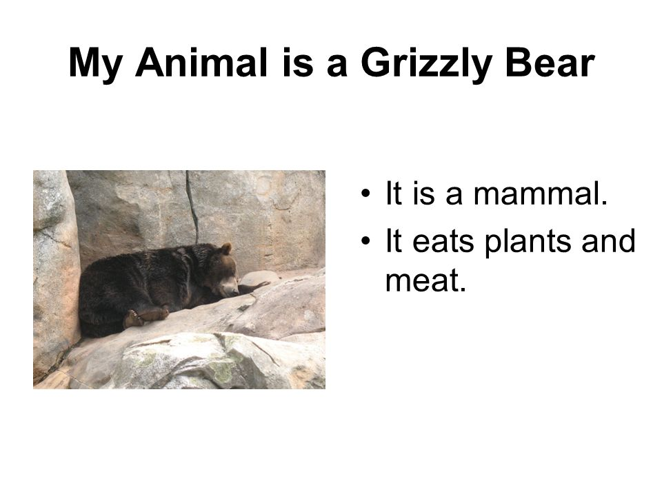 My Animal is a Grizzly Bear