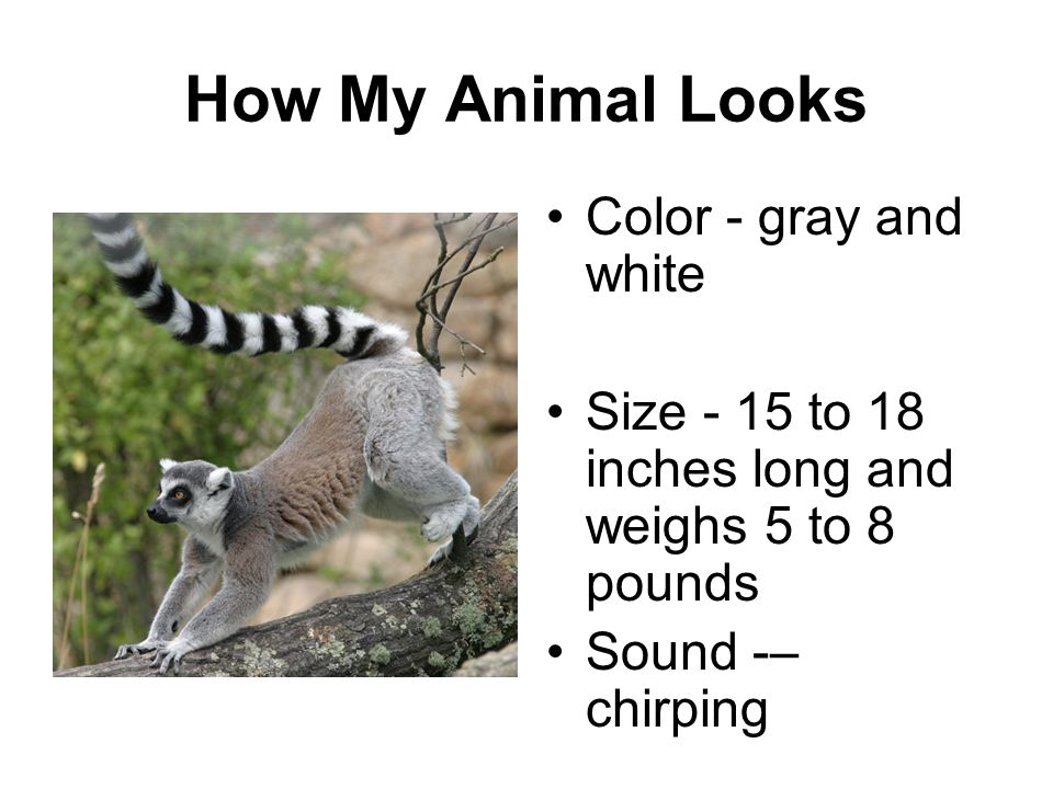 How My Animal Looks Color - gray and white