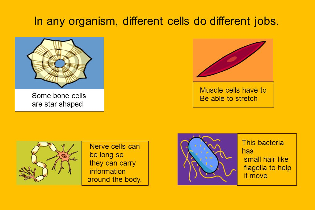 In any organism, different cells do different jobs.