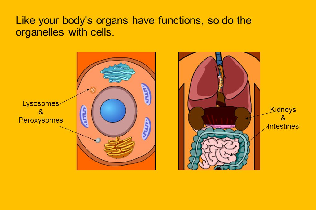 Like your body s organs have functions, so do the organelles with cells.