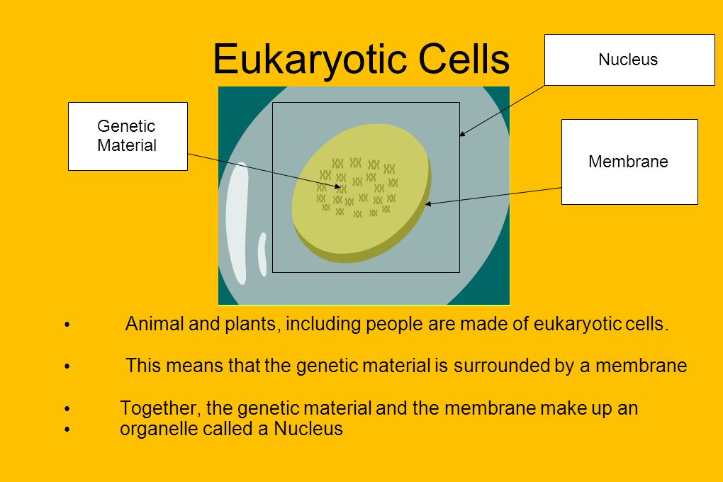Eukaryotic Cells Nucleus. Genetic. Material. Membrane. Animal and plants, including people are made of eukaryotic cells.