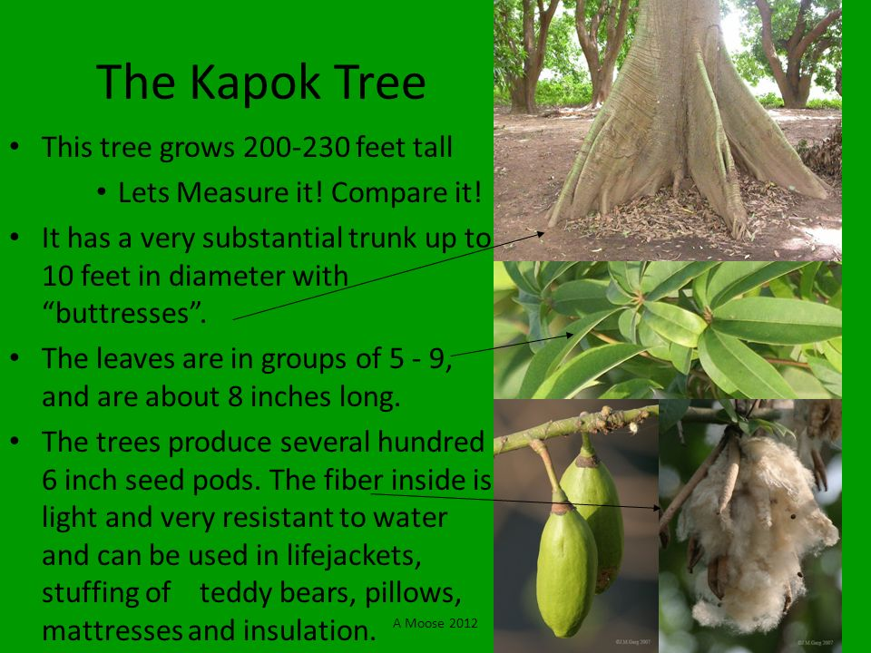 The Kapok Tree This tree grows 200-230 feet tall