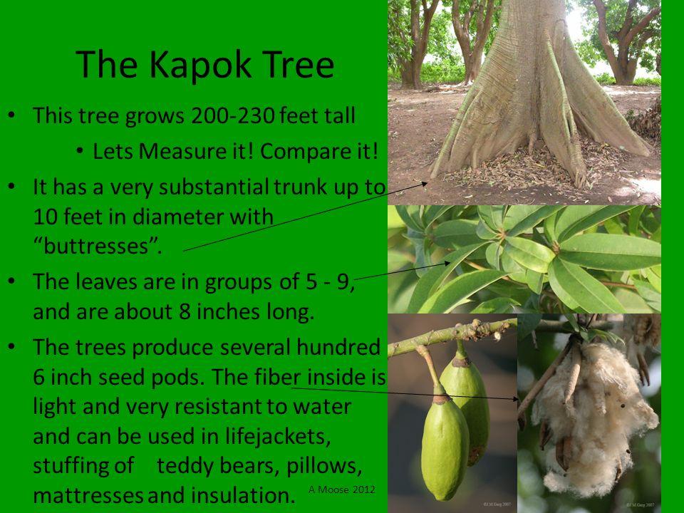 The Kapok Tree This tree grows 200-230 feet tall