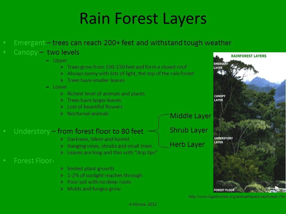 Rain Forest Layers Emergent – trees can reach 200+ feet and withstand tough weather. Canopy – two levels.